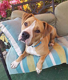 Labrador Retriever/Shepherd (Unknown Type) Mix Dog for adoption in Toluca Lake, California - Wesley