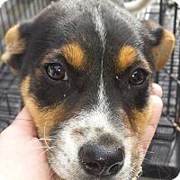 Adopt A Pet :: Rascal AD 12-03-16 - Preston, CT