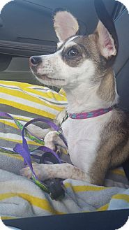Chihuahua/Miniature Pinscher Mix Dog for adoption in Groton, Connecticut - Lilly
