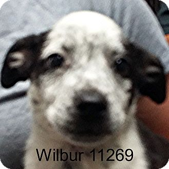 Australian Cattle Dog/Boston Terrier Mix Puppy for adoption in Greencastle, North Carolina - Wilbur