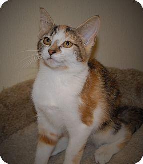 Calico Cat for adoption in Wilmington, Ohio - Rajah