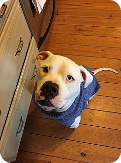 Boxer/American Bulldog Mix Dog for adoption in Centreville, Virginia - Skip - Currently unavailable due to medical issue