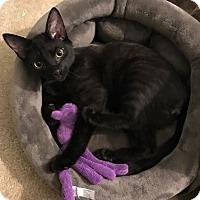 Domestic Shorthair Kitten for adoption in Reinholds, Pennsylvania - Mickey