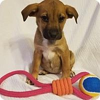 German Shepherd Dog/Labrador Retriever Mix Puppy for adoption in Newark, Delaware - Talley