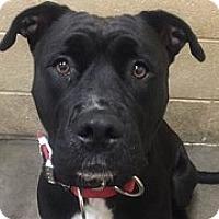 Adopt A Pet :: Munchie - Springdale, AR