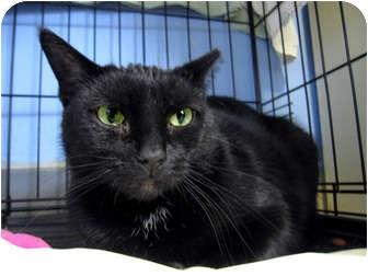 Domestic Shorthair Cat for adoption in Chicago, Illinois - Mama Mia