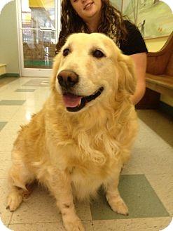 Golden Retriever Dog for adoption in Brattleboro, Vermont - Ginger