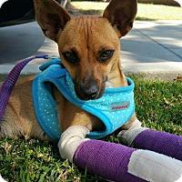 Adopt A Pet :: SOFIA - West LA, CA