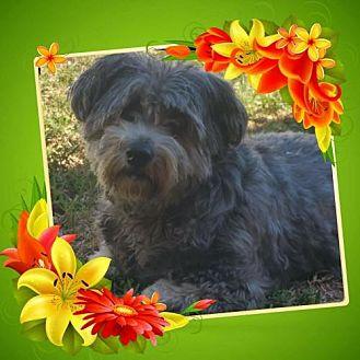Standard Schnauzer Mix Dog for adoption in Lithia, Florida - Lola-15