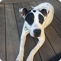 Adopt A Pet :: Bella - Santa Monica, CA