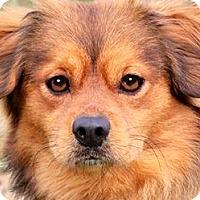 Adopt A Pet :: PEANUT(KING CHARLES SPANIEL!! - Wakefield, RI
