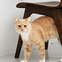 Adopt A Pet :: Tiger (pending) - San Francisco, CA
