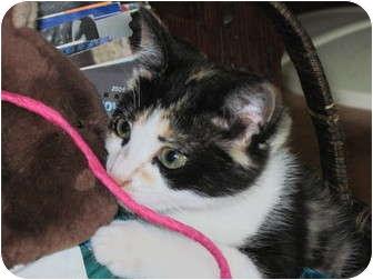Calico Kitten for adoption in Warren, Ohio - Copper Sue