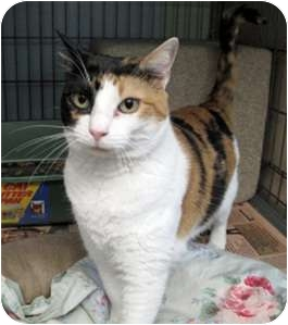 Calico Cat for adoption in New York, New York - Carla