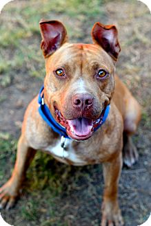 American Pit Bull Terrier Mix Dog for adoption in Burbank, California - Luci