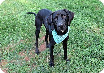 Labrador Retriever Mix Dog for adoption in Lexington, North Carolina - FRANKLIN