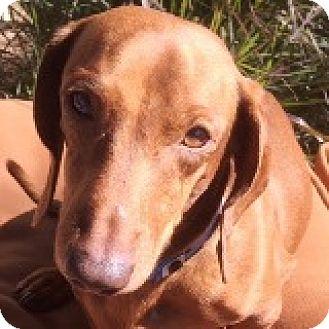 Dachshund Mix Dog for adoption in Houston, Texas - Wilbur Wright
