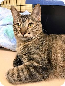 Domestic Shorthair Kitten for adoption in Maryville, Missouri - Hecate