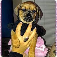 Adopt A Pet :: Dancer - Fowler, CA