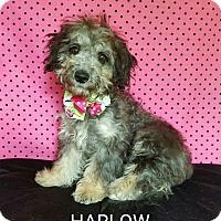 Adopt A Pet :: Harlow - Troutville, VA