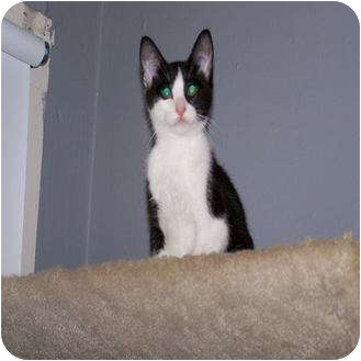 Domestic Shorthair Kitten for adoption in Houston, Texas - Amy