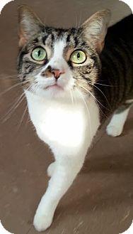 Domestic Mediumhair Cat for adoption in Alexandria, Virginia - Precious