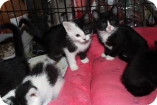 American Shorthair Kitten for adoption in Santa Monica, California - Phantom
