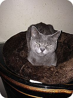 Russian Blue Cat for adoption in Miami, Florida - Melody