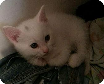 Domestic Shorthair Kitten for adoption in Hainesville, Illinois - Timmy