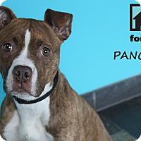 Adopt A Pet :: Pancakes - Chicago, IL