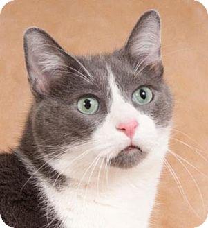 Domestic Shorthair Cat for adoption in Oak Park, Illinois - Nicole