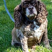 Cocker Spaniel Dog for adoption in Flushing, New York - Eclair Au Chocolat