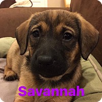 Adopt A Pet :: Savanah - Mount Laurel, NJ