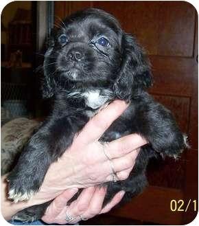 Pekingese/Cocker Spaniel Mix Puppy for adoption in Washburn, Missouri - Tyler