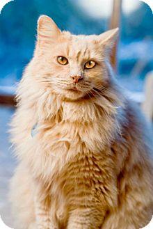 Domestic Longhair Cat for adoption in Grand Rapids, Michigan - Castle