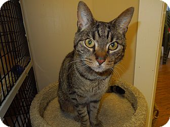 Domestic Shorthair Cat for adoption in Medina, Ohio - Chris