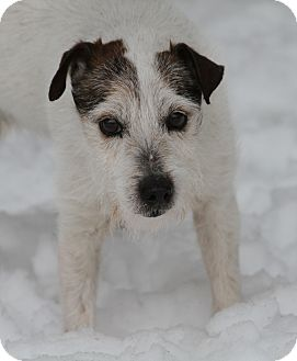 Jack Russell Terrier Mix Dog for adoption in Muskegon, Michigan - Archie