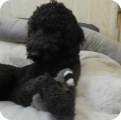 Labradoodle Dog for adoption in Antioch, Illinois - Shemp ADOPTED!!