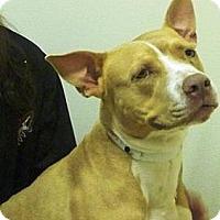 Adopt A Pet :: Bella - Gilbert, AZ