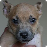 Adopt A Pet :: Sheperd mix puppies - Canoga Park, CA