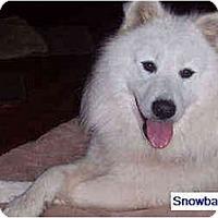 Adopt A Pet :: Snowball - Arvada, CO