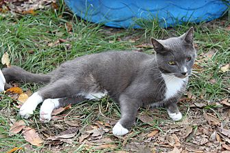 American Shorthair Cat for adoption in Morriston, Florida - Grey