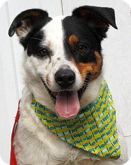 Cattle Dog/Australian Shepherd Mix Dog for adoption in Mayflower, Arkansas - Buzz