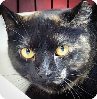 Domestic Shorthair Cat for adoption in Webster, Massachusetts - Emma