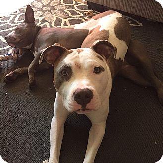 Terrier (Unknown Type, Medium) Mix Dog for adoption in West Allis, Wisconsin - Atlas **Courtesy Cupid**