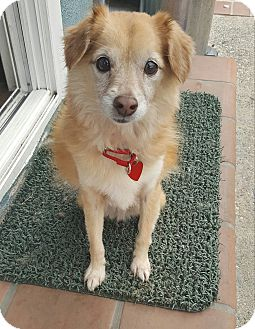 Chihuahua/Spaniel (Unknown Type) Mix Dog for adoption in Los Angeles, California - HARRY