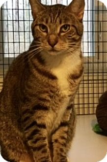 Domestic Shorthair Cat for adoption in Victor, New York - Brody