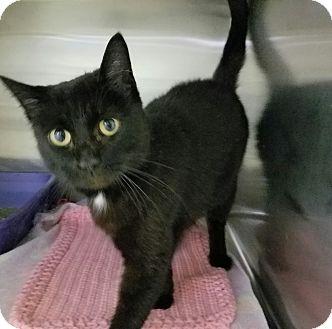 Domestic Shorthair Cat for adoption in Elyria, Ohio - Hollywood