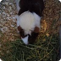 Adopt A Pet :: LADYBIRD - Bridgewater, NJ