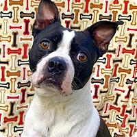Adopt A Pet :: Bojack Horseman - Cleveland, OH